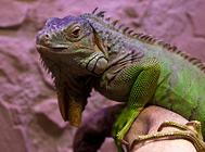 养绿鬣蜥要知道它哪些习性