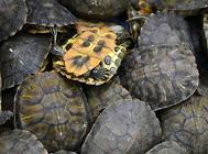 乌龟体外用药的小知识