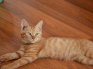 猫咪异位性皮炎的治疗方法