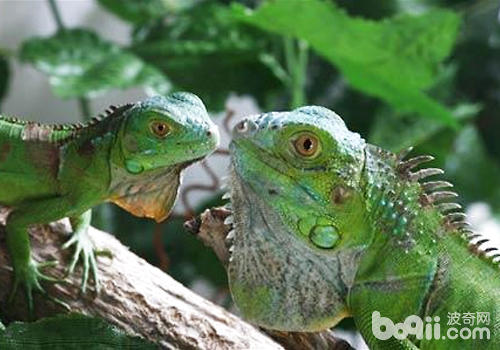 绿鬣蜥在饮食方面要注意哪些问题