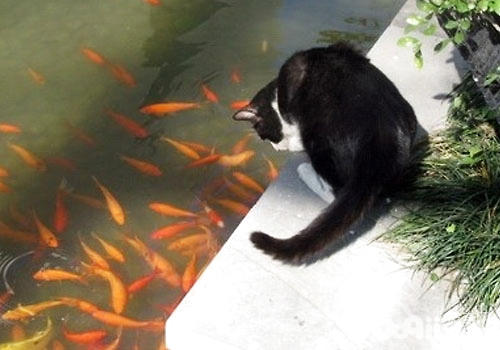 猫咪会用尾巴钓鱼?