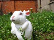 影响獭兔皮毛质量的因素有哪些
