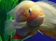 金鱼为什么突然变色?
