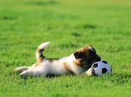 狗狗装死训练