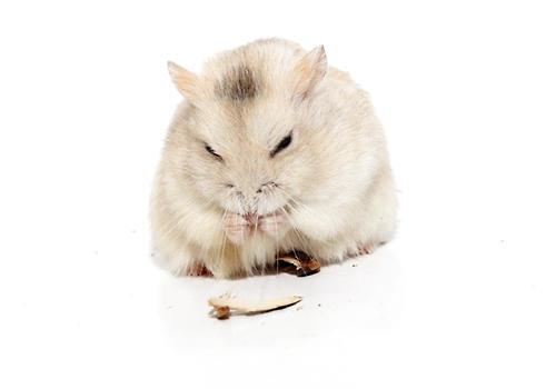 为何冬季仓鼠容易便秘