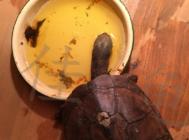 一例石龟肿前肢的治疗报告