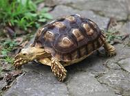 龟的消化系统、循环系统、淋巴系统介绍