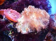 海葵如何饲养?