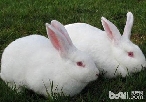 獭兔的顽症有哪些