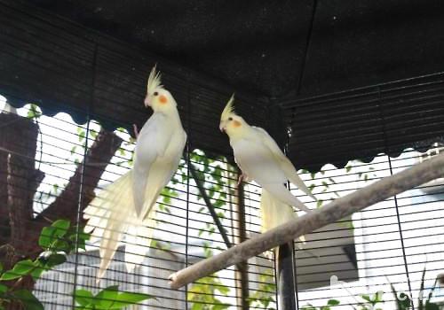 玄凤鹦鹉易得的两种疾病
