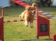 【训练攻略】怎么训练狗狗跨障碍