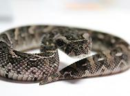 鼓蝮蛇能隐藏气味?