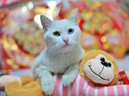 加菲猫养育常见问题解决方案