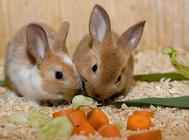 兔子发病有何规律
