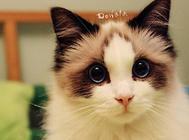 布偶猫有哪些颜色?