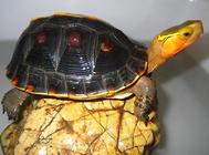 黄缘龟冬眠的停食准备
