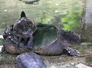 乌龟脐带发炎怎么办?