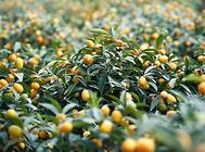 人工栽培金桔的注意事项