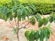 盆栽咖啡树的注意事项