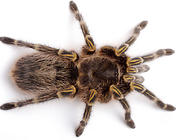 饲养蜘蛛幼体要注意什么