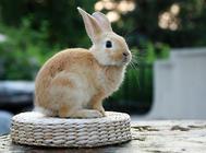 中西结合治疗兔大肠杆菌病