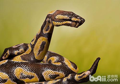 蟒蛇猎杀动物可能是让其心脏骤停而死