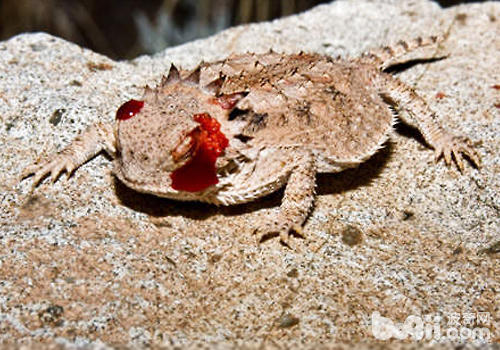 饲养角蜥注意哪些环境问题