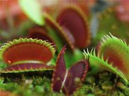 食虫植物需要施肥吗