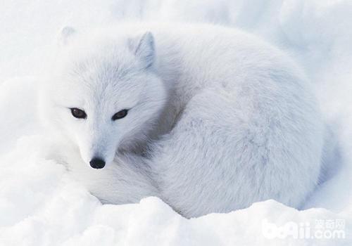 狐狸也会患犬瘟热?