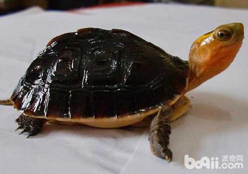 龟饲养与生石灰