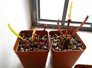 朱迪斯瓶子草的捕食及栽培方法
