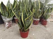 栽培虎皮兰的水质应该如何管理