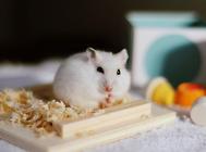 仓鼠的木屑能用其他东西替代吗