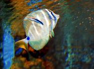 养海水鱼一定要用海水吗?