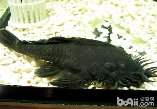 胡子类异型鱼饲养方法
