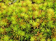 佛甲草和垂盆草的区别方法