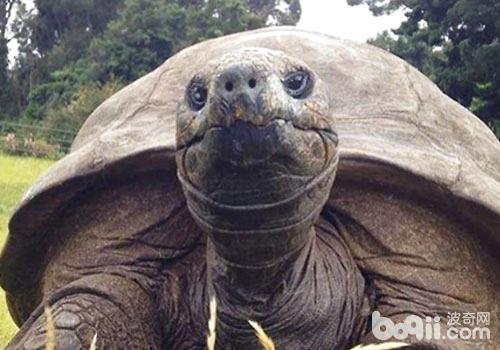 """5亿年前就生活在地球上,古代人们常以""""龟龄""""喻以高寿,在我国乌龟也是"""""""