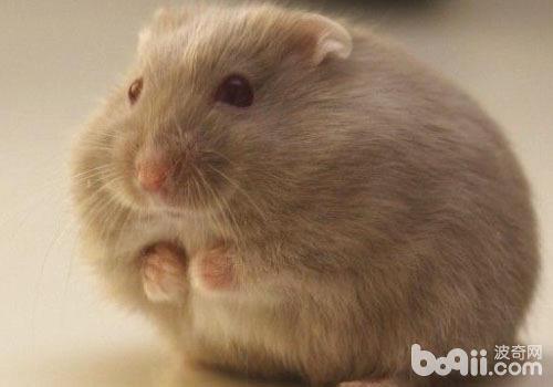 仓鼠吃什么不利于健康