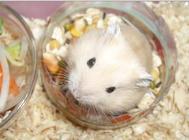 仓鼠吃什么更健康