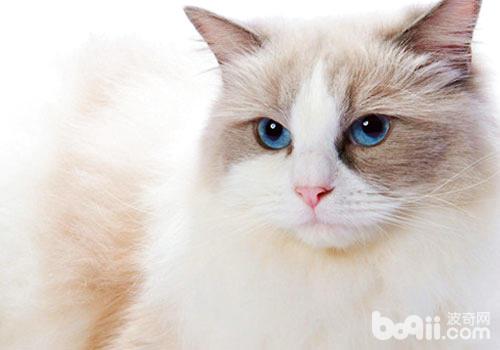 布偶猫排尿不畅是什么原因?