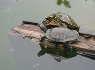 养龟能转运?