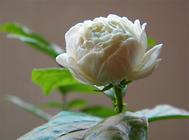 如何让盆栽茉莉花多开花