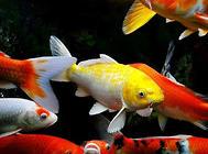 锦鲤鱼缸选择要考虑安全性