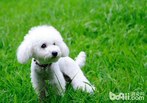贵宾犬为什么会吃草
