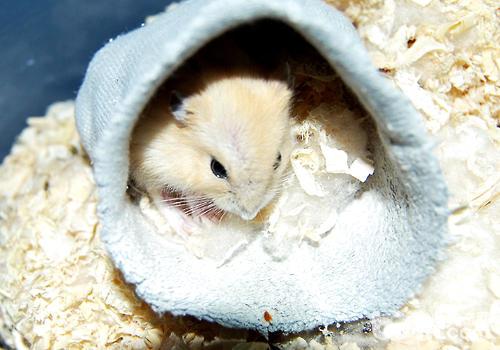 仓鼠的常见病及处理
