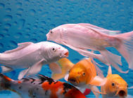 锦鲤鱼缸选择要注重大小和性能