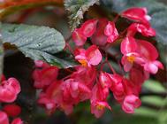 竹节海棠的扦插繁殖方法