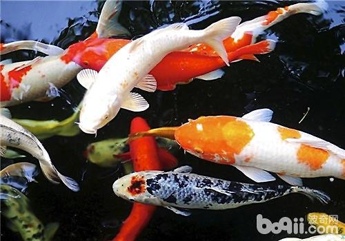 锦鲤鱼缸的尺寸应如何挑选