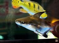 三角灯鱼的品种介绍