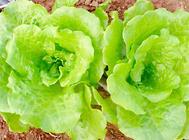 阳台栽种圆叶生菜的方法及注意事项
